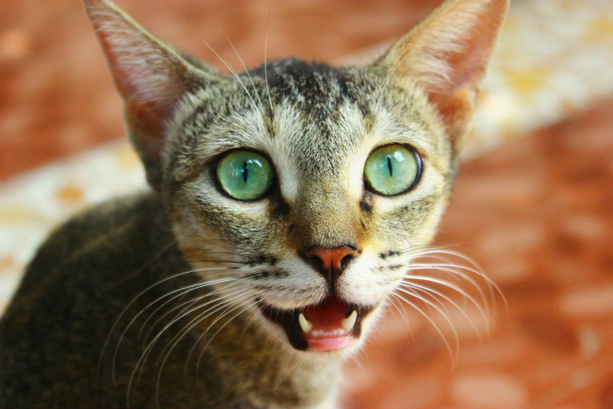 Почему у котёнка пахнет изо рта